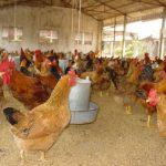 Thức ăn chăn nuôi cho Gà sinh sản hướng thịt - an toan sinh hoc trong chan nuoi 150x150