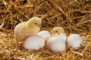 Chia sẻ bí quyết ấp trứng Gà thành công (Phần 1) - ap trung ga1 300x198 1