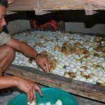 Kinh nghiệm ấp trứng Vịt - ap trung vit 150x150