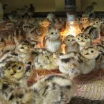 Chia sẻ kinh nghiệm về cách chọn Gà giống - ban chim tri giong 150x150