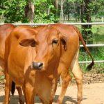 Một số bệnh thường gặp trong chăn nuôi Bò thương phẩm - benh cam nang o bo 1 150x150