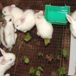 Cách điều trị bệnh đường hô hấp trên Thỏ - benh ho hap tho 150x150