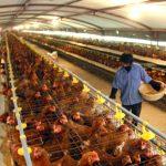 Hiệu quả từ chăn nuôi Gà thịt theo hướng an toàn sinh học - bnn 1367200485 150x150