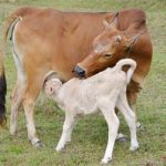 Kỹ thuật chăn nuôi Bò hiệu quả cao - bo giong 150x150