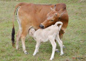 Kỹ thuật chăn nuôi Bò hiệu quả cao - bo giong 300x213