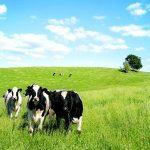 Tìm hiểu bệnh sát nhau ở Bò sữa