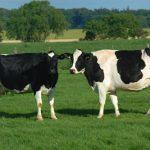 Bò Sữa khó lên giống khắc phục như thế nào?