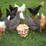 Các loại Gà hướng trứng nhập nội - cac loai ga huong trung nhap noi 150x150