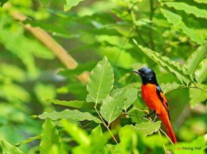 Cách chăm sóc chim Hồng Tước - cach cham soc chim hong tuoc2 300x223 1