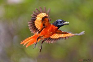 Cách chăm sóc chim Hồng Tước - cach cham soc chim hong tuoc3 300x200