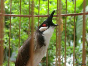 Cần chuẩn bị gì khi nuôi chim cảnh hót - cach chon nuoi chim canh 300x225