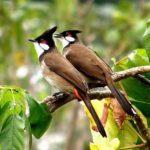 Cách phân biệt chim Chào Mào trống mái