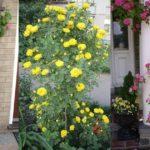 Cách trồng hoa Hồng leo bằng cành - cach trong hoa hong leo bang canh 1 150x150