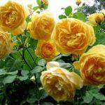 Cách trồng hoa Hồng leo pháp nhiều màu đơn giản tại nhà - cach trong hoa hong leo phap nhieu mau don gian tai nha 150x150