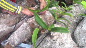 Chia sẻ cách trồng hoa Lan trên gốc cây - cach trong lan tren goc cay2 300x169