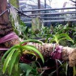 Chia sẻ cách trồng hoa Lan trên gốc cây (Phần 2) - cach trong lan tren goc cay6 300x200 150x150