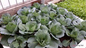 Hướng dẫn cách trồng rau Bắp Cải tại nhà - cach trong rau bap cai1 300x169