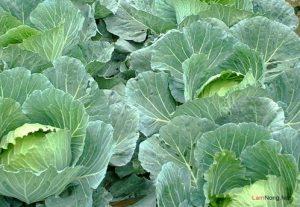 Hướng dẫn cách trồng rau Bắp Cải tại nhà - cach trong rau bap cai2 300x207