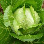 Hướng dẫn cách trồng rau Bắp Cải tại nhà