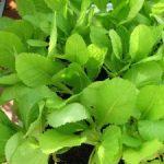 Cách trồng rau Cải bẹ xanh - cach trong rau cai be xanh3 300x225 150x150