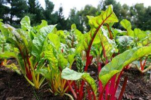 Cách trồng rau Cải cầu vồng - cach trong rau cai cau vong2 300x200