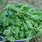 Hướng dẫn cách trồng rau Cải Cúc tại nhà - cach trong rau cai cuc2 150x150