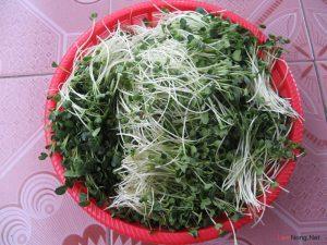 Hướng dẫn cách trồng rau mầm Cải - cach trong rau cai mam2 300x225