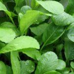 Hướng dẫn cách trồng rau Cải xanh trong thùng xốp - cach trong rau cai xanh2 300x225 150x150