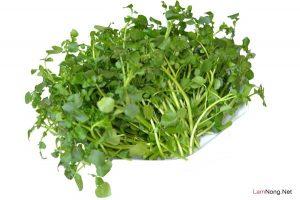 Hướng dẫn cách trồng Cải Xoong tại nhà - cach trong rau cai xoong1 300x200