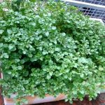Hướng dẫn cách trồng Cải Xoong tại nhà