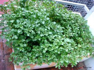Hướng dẫn cách trồng Cải Xoong tại nhà - cach trong rau cai xoong2 300x225