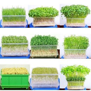 Tổng hợp các cách trồng rau mầm (Phần 1) - cach trong rau mam bo quyet 300x300