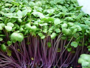 2 cách trồng rau mầm không cần đất - cach trong rau mam1 300x225