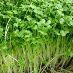 2 cách trồng rau mầm không cần đất - cach trong rau mam2 300x225 150x150