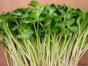 Cách trồng rau mầm tại nhà đơn giản - cach trong rau mam2 Copy 300x225