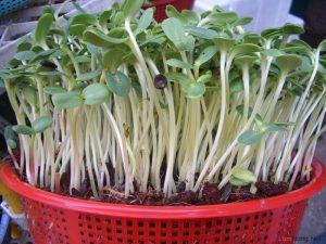Cách trồng rau mầm tại nhà đơn giản - cach trong rau mam3 300x225 1