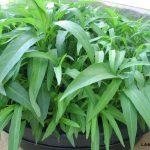 Chia sẽ kinh nghiệm trồng rau Muống trong chậu - cach trong rau muong 150x150