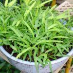 Chia sẻ cách trồng rau Muống bằng cành - cach trong rau muong bang canh1 300x233 150x150