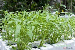 Chia sẻ cách trồng rau Muống bằng cành - cach trong rau muong bang canh2 300x199