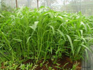 Chia sẻ cách trồng rau Muống bằng cành - cach trong rau muong bang canh3 300x225