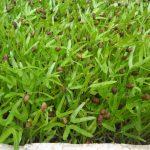 Cách trồng rau Muống bằng hạt - cach trong rau muong bang hat 150x150