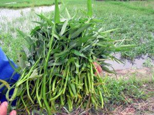 Hướng dẫn cách trồng rau Muống nước - cach trong rau muong nuoc1 300x225