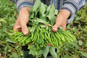 Hướng dẫn cách trồng rau Muống nước - cach trong rau muong nuoc2 300x200