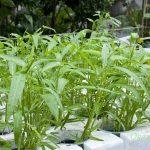 Quy trình trồng rau muống thủy canh rất đơn giản tại nhà