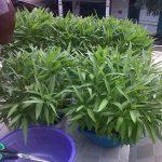 Cách trồng rau thủy canh tại nhà - cach trong rau muong thuy canh tai nha bang nuoc sach 1 150x150