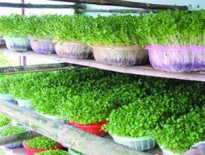 Chia sẻ cách trồng rau sạch đơn giản - cach trong rau sach don gian1 300x226