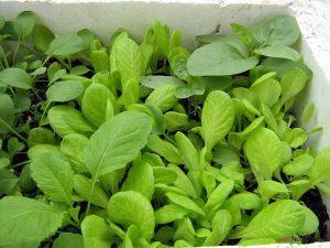 Chia sẻ cách trồng rau sạch đơn giản - cach trong rau sach don gian2 300x225