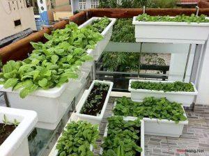 Chia sẻ cách trồng rau sạch đơn giản - cach trong rau sach don gian4 300x224