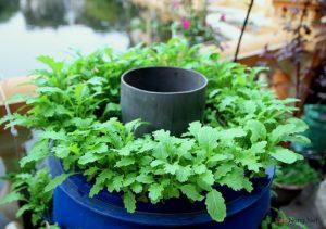 Chia sẻ cách trồng rau sạch đơn giản - cach trong rau sach don gian5 300x211 1