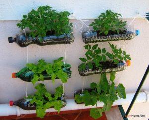 Cách trồng rau sạch bằng chai nhựa - cach trong rau sach2 300x242 3